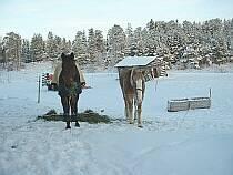 Myydään Ravihevosia